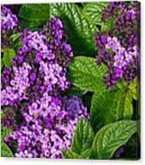 Heliotrope Flowers In Bloom Canvas Print