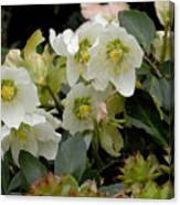 Hellebore And Friends Canvas Print