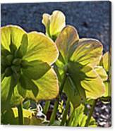 Helleborus Backlight Blossoms 2 Canvas Print