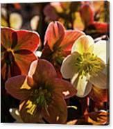 Helleborus Backlight Blossoms Canvas Print