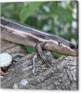 Hello Skink Canvas Print