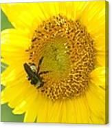 Hello Sunflower Canvas Print