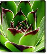 Hen And Chicks Canvas Print