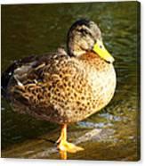 Hen Mallard Duck Canvas Print