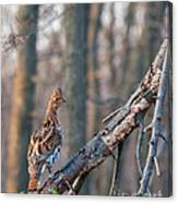 Hen Ruffed Grouse On Roost Canvas Print