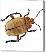 Henry Lin Beetle Canvas Print