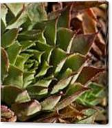 Hens And Chicks Sedum 1 Canvas Print