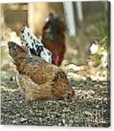 Hens Scratching Around Canvas Print