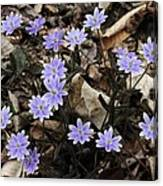 Hepatica Canvas Print