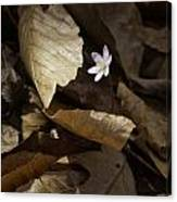 Hepatica In Filtered Light Canvas Print