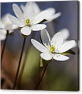 Hepatica White Wildflower Canvas Print