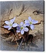 Hepatica Wildflowers - Hepatica Nobilis Canvas Print