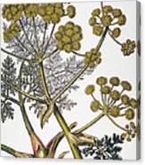 Herbal: Fennel, 1819 Canvas Print