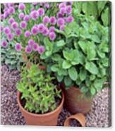 Herbs In Pots Canvas Print