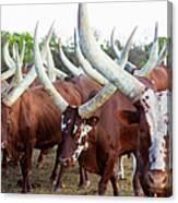 Herd Of Ankole-watusi Cattle, Kenya Canvas Print
