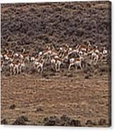 Herd Of Antelope   #8552 Canvas Print