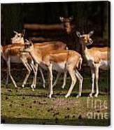 Herd Of Blackbuck Antilopes In A Dark Forest Canvas Print