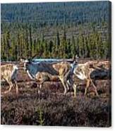 Herd Of Broad Pass Canvas Print