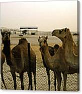 Herd Of Camels In A Farm, Abu Dhabi Canvas Print