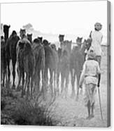 Herd Of Camels Canvas Print
