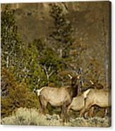 Herd Of Cow Elk   #7672 Canvas Print