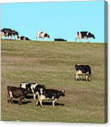 Herd Of Cows Grazing On A Hill, Point Canvas Print