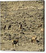 Herd Of Elk   #3218 Canvas Print