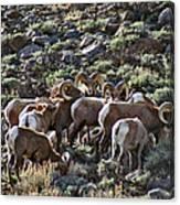 Herd Of Horns Canvas Print
