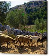 Herd Of Sheep In Tuscany Canvas Print