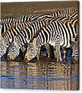 Herd Of Zebras Drinking Water Canvas Print
