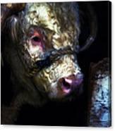 Hereford Bull 2 Canvas Print