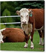 Hereford Cows In Green Pasture Canvas Print