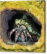 Hermit Crab In Yellow Vase Sponge, St Canvas Print