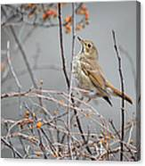 Hermit Thrush Canvas Print