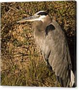 Heron Basking In The Morning Sun Canvas Print