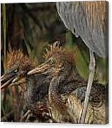 Heron Chicks Canvas Print