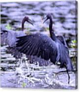 Heron Encounter - Battle - Fight Canvas Print