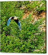Heron Flies Over Oak Creek In Red Rock State Park Sedona Arizona Canvas Print
