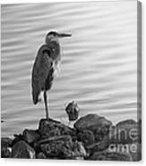 Heron In Black And White Canvas Print