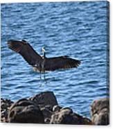 Heron Landing Canvas Print