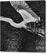 Heron On The Move Up Close Canvas Print