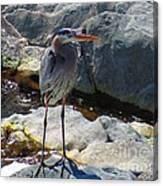 Heron On The Rocks Canvas Print