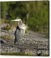 Heron With Corkscrew Neck Canvas Print