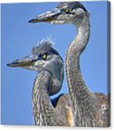 Herons On The Lookout Canvas Print
