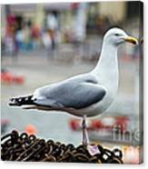 Herring Gull At The Harbour Canvas Print