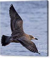 Herring Gull In Flight Photo Canvas Print