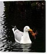 Herring Gull With Crab Canvas Print