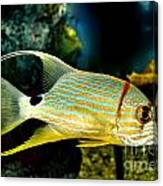 Hi Fin Snapper Canvas Print