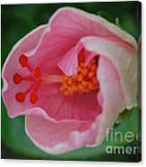 Hibiscus Flower Blooming Canvas Print
