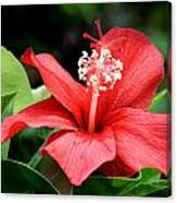 Hibiscus Le'a - A Large Red Hibiscus Flower Bloom Canvas Print
